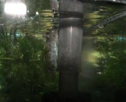 ヨシノボリ 川魚 飼育