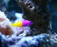 バイカラードティーバッグ 熱帯魚