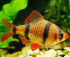 スマトラ 熱帯魚 寿命