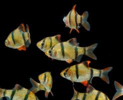 スマトラ 熱帯魚 繁殖