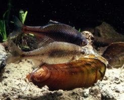 タナゴ 貝 種類