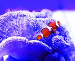 カクレクマノミ 海水 作り方 比重