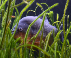 ピラニア 熱帯魚 値段