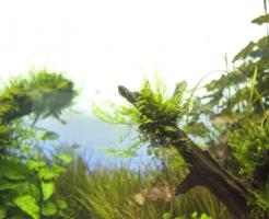 石巻貝 卵 水草 食害