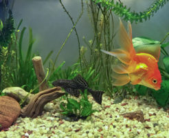 プレコ 金魚 混泳