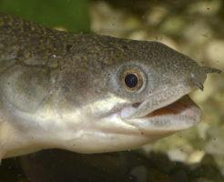 ポリプテルス セネガルス 餌 量 生き餌
